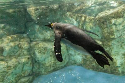 soku_31890.jpg :: EOS6D 動物園 ペンギン