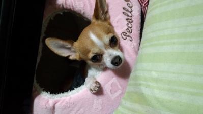 soku_31924.jpg :: チワワ スムース 動物 ペット 犬