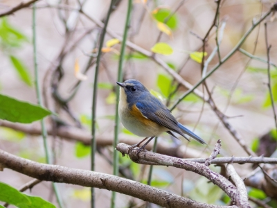 soku_31975.jpg :: 動物 鳥 野鳥 自然の鳥 ルリビタキ
