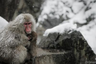 soku_31976.jpg :: 雪 猿 動物 野生 哺乳類 地獄谷野猿公苑 冬
