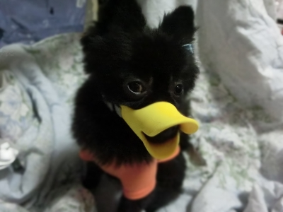 soku_31989.jpg :: ポメラニアン 黒 動物 ペット 犬 アヒル口