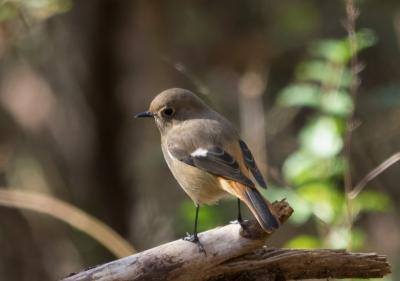 soku_31994.jpg :: 動物 鳥 野鳥 自然の鳥 野鳥 ジョウビタキ