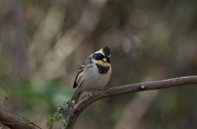 soku_31995.jpg :: 動物 鳥 野鳥 自然の鳥 野鳥 ミヤマホオジロ