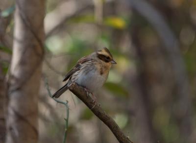soku_31996.jpg :: 動物 鳥 野鳥 自然の鳥 野鳥 ミヤマホオジロ