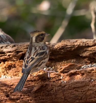 soku_32001.jpg :: 動物 鳥 野鳥 自然の鳥 ミヤマホオジロ