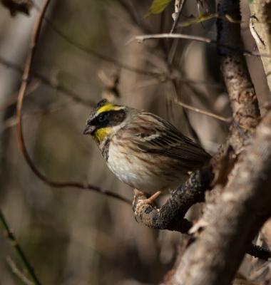 soku_32002.jpg :: 動物 鳥 野鳥 自然の鳥 ミヤマホオジロ