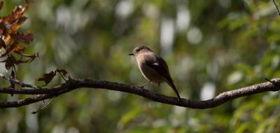 soku_32003.jpg :: 動物 鳥 野鳥 自然の鳥 ジョウビタキ JBT