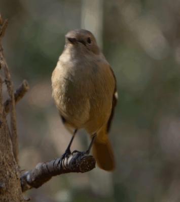 soku_32004.jpg :: 動物 鳥 野鳥 自然の鳥 ジョウビタキ JBT GIF動画