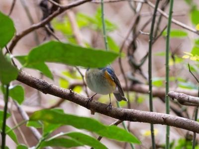 soku_32005.jpg :: 動物 鳥 野鳥 自然の鳥 ルリビタキ オス