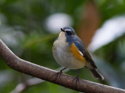 soku_32044.jpg :: 動物 鳥 野鳥 自然の鳥 ルリビタキ