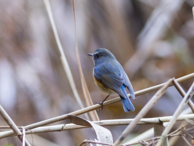 soku_32057.jpg :: 動物 鳥 野鳥 自然の鳥 ルリビタキ