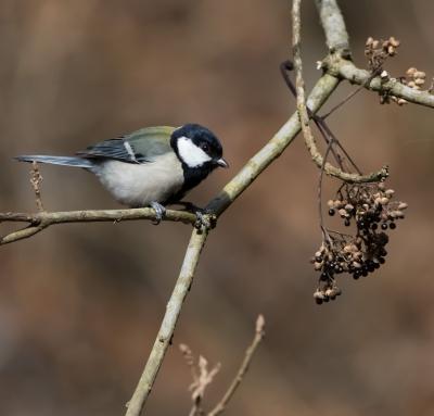soku_32058.jpg :: 動物 鳥 野鳥 自然の鳥 シジュウカラ