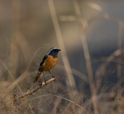 soku_32077.jpg :: 動物 鳥 野鳥 自然の鳥 ジョウビタキ
