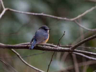 soku_32130.jpg :: 動物 鳥 野鳥 自然の鳥 ルリビタキ