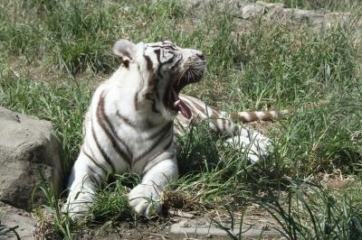 soku_32173.jpg :: 動物 哺乳類 虎 トラ 平川動物園