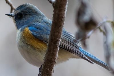 soku_32182.jpg :: 動物 鳥 野鳥 自然の鳥 ルリビタキ GH4