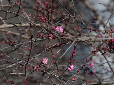 soku_32206.jpg :: 植物 花 梅 ウメ