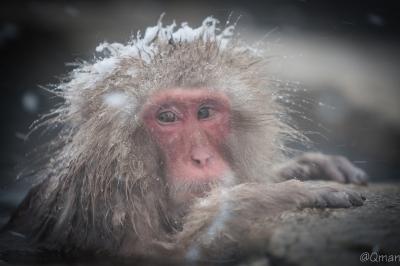 soku_32224.jpg :: 動物 哺乳類 猿 サル 地獄谷野猿公苑 温泉
