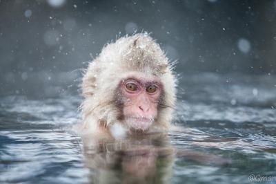 soku_32225.jpg :: 動物 哺乳類 猿 サル 地獄谷野猿公苑 温泉