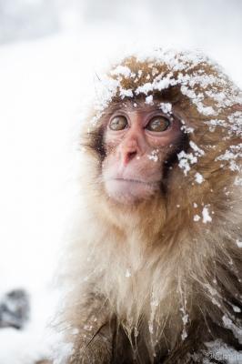 soku_32227.jpg :: 動物 哺乳類 猿 サル 地獄谷野猿公苑 温泉