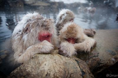 soku_32240.jpg :: 動物 哺乳類 猿 サル 地獄谷野猿公苑 温泉