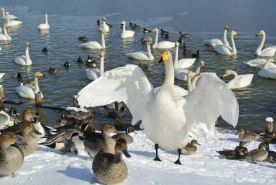 soku_32249.jpg :: 動物 鳥 白鳥 ハクチョウ