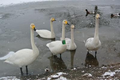 soku_32250.jpg :: 動物 鳥 白鳥 ハクチョウ