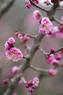 soku_32271.jpg :: 花 梅 植物 冬