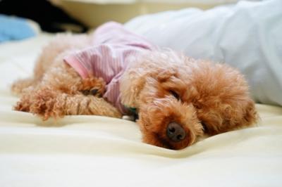 soku_32295.jpg :: 動物 ペット 犬 プードル