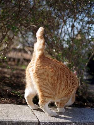 soku_32305.jpg :: 動物 哺乳類 猫 ネコ 野良猫 茶虎