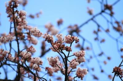 soku_32322.jpg :: 植物 花 梅 ウメ