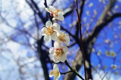 soku_32336.jpg :: 植物 花 梅 ウメ