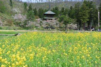 soku_32344.jpg :: 春 菜の花 三重塔