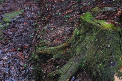 soku_32378.jpg :: 風景 自然 樹木 切り株 植物 その他 苔 コケ