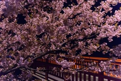 soku_32383.jpg :: 河津桜 植物 花 桜 サクラ 満開