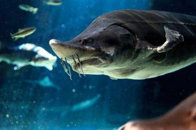 soku_32400.jpg :: EOS-1DX 水族館 動物 魚類 サメ