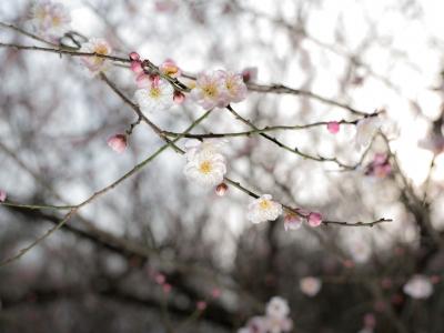 soku_32411.jpg :: 植物 花 桜 サクラ