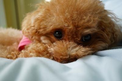 soku_32412.jpg :: 動物 ペット 犬 トイプードル