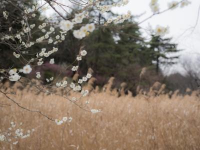 soku_32417.jpg :: 植物 花 桜 サクラ 草葉 雑草
