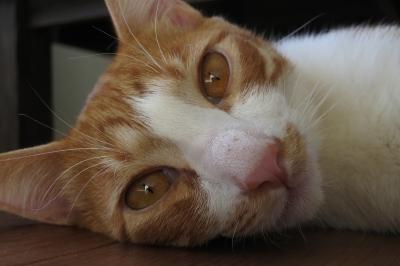 soku_32420.jpg :: 動物 哺乳類 猫 ネコ 元野良猫 ロミー
