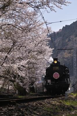 soku_32478.jpg :: SD1 SIGMA 大井川鉄道 SL 桜 春
