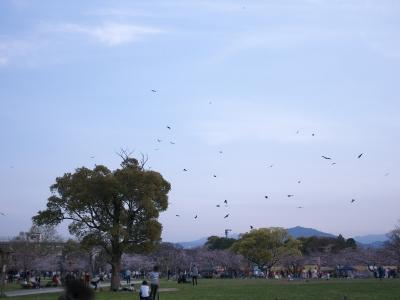 soku_32480.jpg :: トンビ バーベキュー お花見 舞鶴公園 福岡