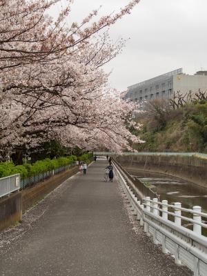 soku_32484.jpg :: 植物 花 桜 サクラ 近所