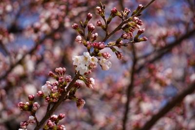 soku_32485.jpg :: 植物 花 桜 サクラ つぼみ
