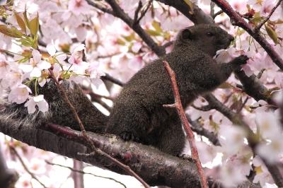 soku_32488.jpg :: 植物 花 桜 サクラ 動物 哺乳類 栗鼠 リス