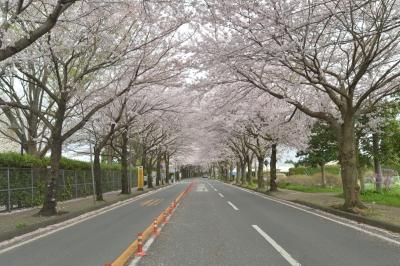 soku_32494.jpg :: 植物 花 桜 サクラ 街道