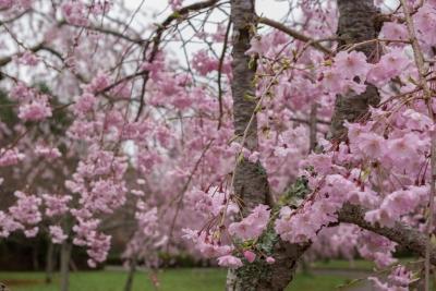 soku_32499.jpg :: 植物 花 桜 サクラ