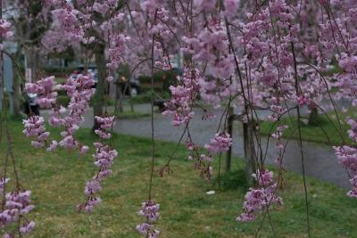 soku_32500.jpg :: 植物 花 桜 サクラ