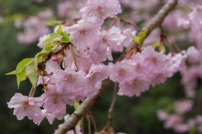 soku_32501.jpg :: 植物 花 桜 サクラ
