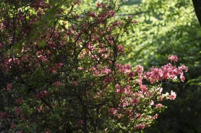 soku_32524.jpg :: 植物 花 桜 サクラ
